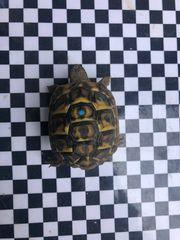 Griechische Landschildkröten reinrassig aus Korsika