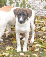 Labrador-Mix Rüde 5 Monate
