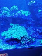 Scheiben Anemone Meerwasser