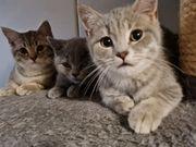 Britisch Kurzhaar Katze BKH Babys