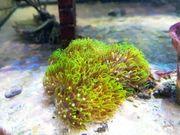 Meerwasser Röhrenkoralle grün