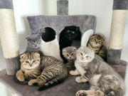 BKH SF Kitten suchen ein