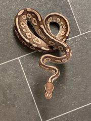 1 0 Python Regina Mojave