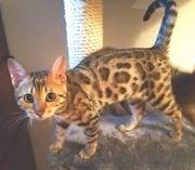 Wunderschönes Bengalkatzenweibchen