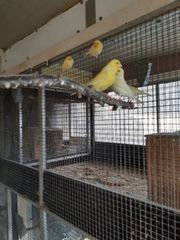 gebe Kanarienvögel ab gelbe und
