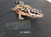 Leopardgeckos Wildfarben Zorro Designer Boldstripe
