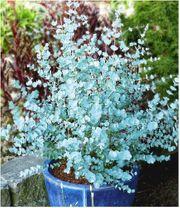 Eukalyptus Azura Hecke Pflanze original