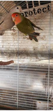 Papagei zu verkaufen