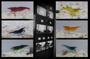 Neocaridina Garnelen - versch Farben - aus