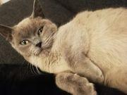 bkh bluepoint kitten