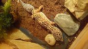 Leopardgecko Junge
