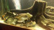 Suche Schlangenhalsschildkröten