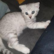 Bengal Kitten - einmalig schöner Kater