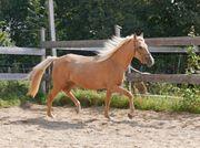 Pony - Jungstute - Palomino - gangstark - 4jährig -