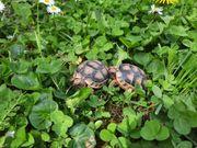 Verkaufe Landschildkröten Breitrandschildkröten Testudo Marginata