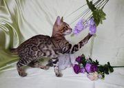 Luxus Bengal Kitten A1