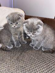 BKH kitten und schottische foltohrkatze