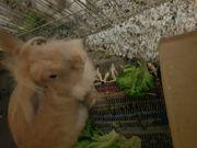 Kaninchen 8 monate bock