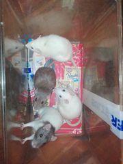 8 Rattenmädels brauchen neues Heim