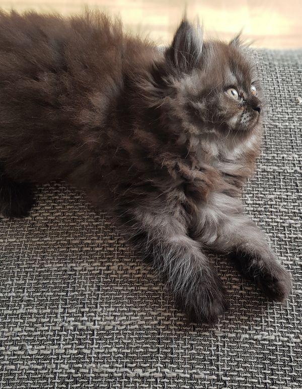 Perser Kitten nur noch 1