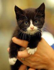 Schwarze Babykatzen abzugeben