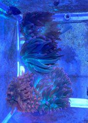 Meerwasser Anemone Kupferanemone verschiedene Anemonen