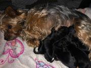 Yorkshire Terrier Welpen ab März