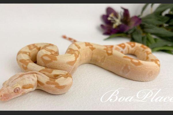 1 0 27 Boa Constrictor