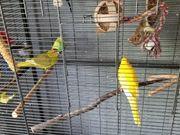 Ziervögel mit Zimmervoliere