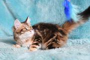 Reinrassige Sibirische Katzenkinder mit Stammbaum