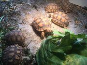 Spornschildkröten -Centrochelys sulcata- NZ 2018
