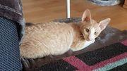reinrassige cornish rex Katzen suchen