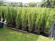 thuja smaragd brabant Lebensbaume Hecke