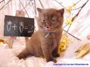 BKH Kitten in chocolate und