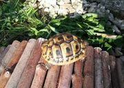NZ 2018 Griechische Landschildkröten Babys