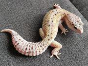 Leopardgecko 0 1 W Y