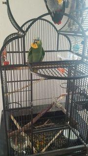Amazon papagei