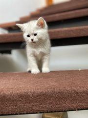 Zuckersüße reinrassige BKH Kitten mit