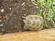 Vierzehenschildkröte Testudo horsfield 2013 Weiblich