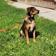Barnus Rottweiler-Schäferhund-Mix Rüde ca 60cm