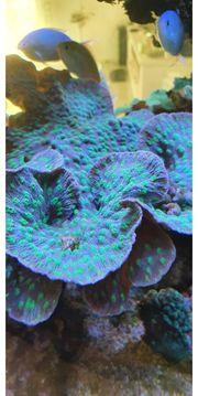 Echinopora lamellosa Koralle - Ableger