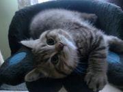 Reinrassige BKH Kitten ab sofort