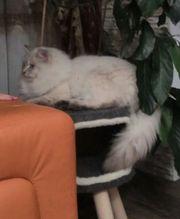junge Sibirische Katzen