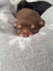 Chihuahuawelpen reinrassig mit Ahnentafel