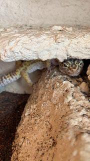 Leoparden Geckos