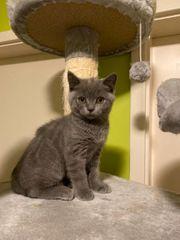 BKH Babies Britisch Kurzhaar Kitten