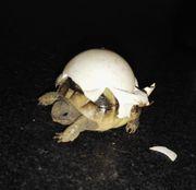 Schildkröten Griechische Landschildkröte - 1 jährig