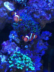 Clownfisch Pärchen ausgewachsen Meerwasser