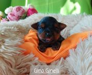 Yorkshire Terrier black tan mit