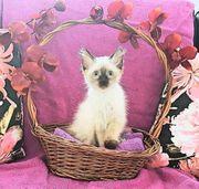 Das letzte Heilige Birma Kitten